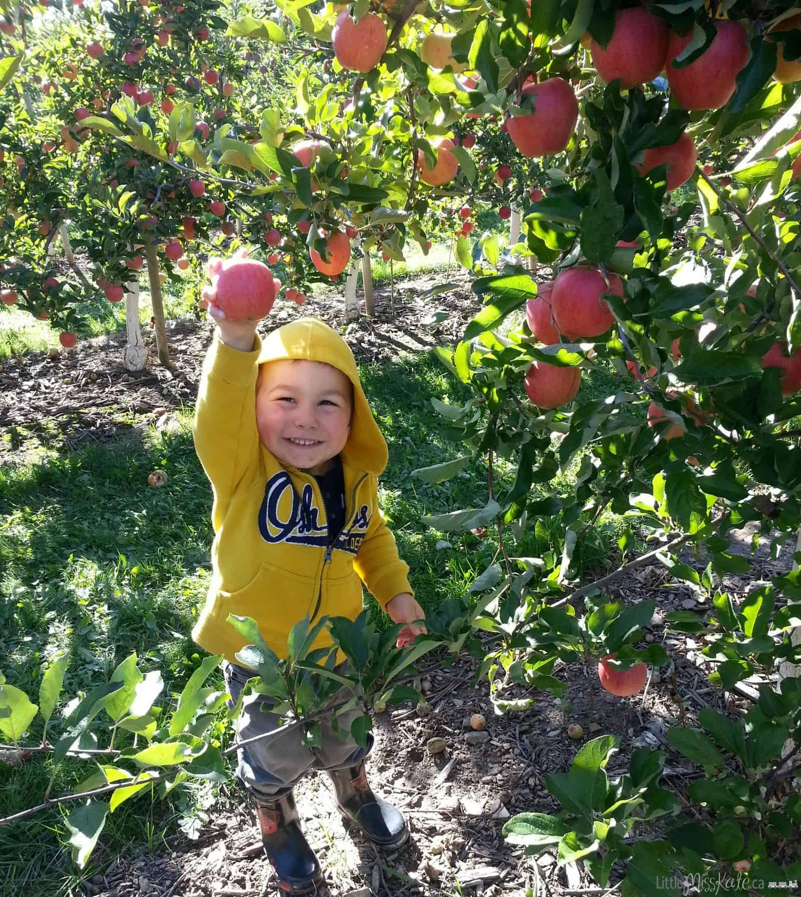 apple picking brampton