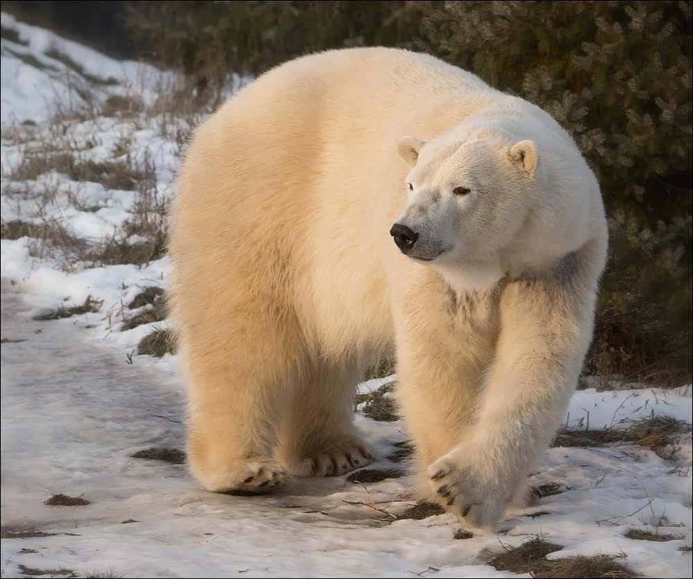 Toronto-Zoo-Polar-Bear-Winter